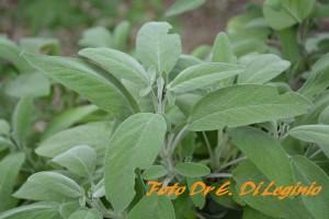 Salvia-1024-93_mark