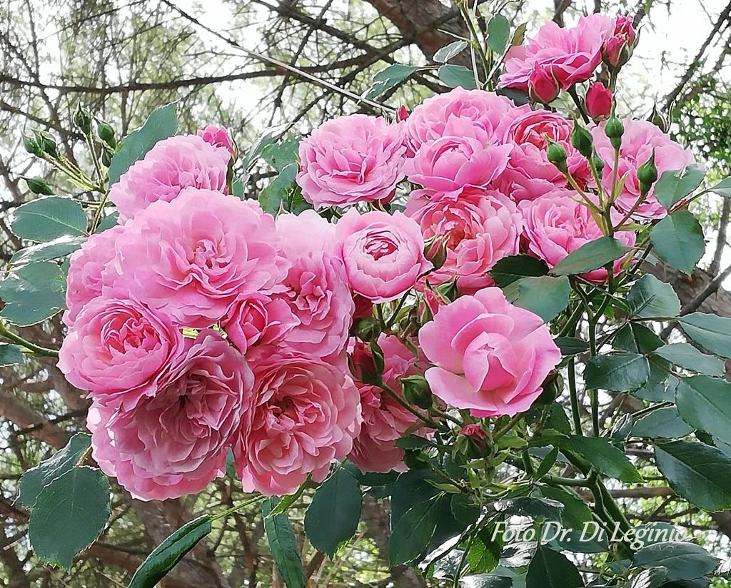 Rosa canina contro rose cinesi