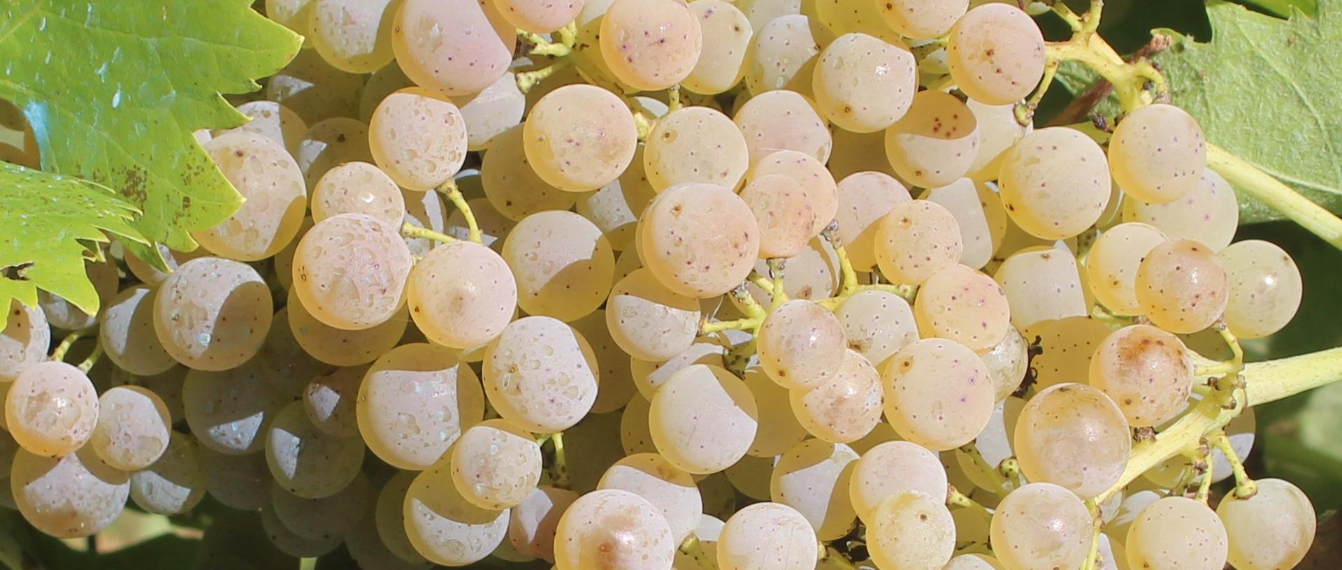 Curarsi con l'uva?