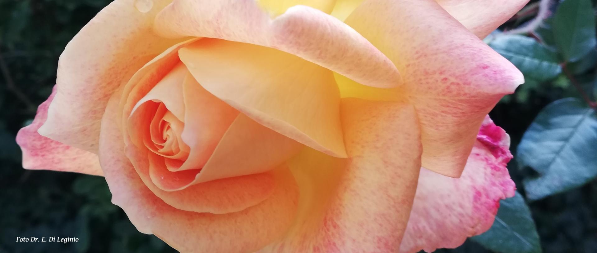 Le rose d'Inverno?